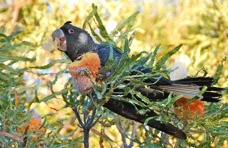 black cockatoo in banksia