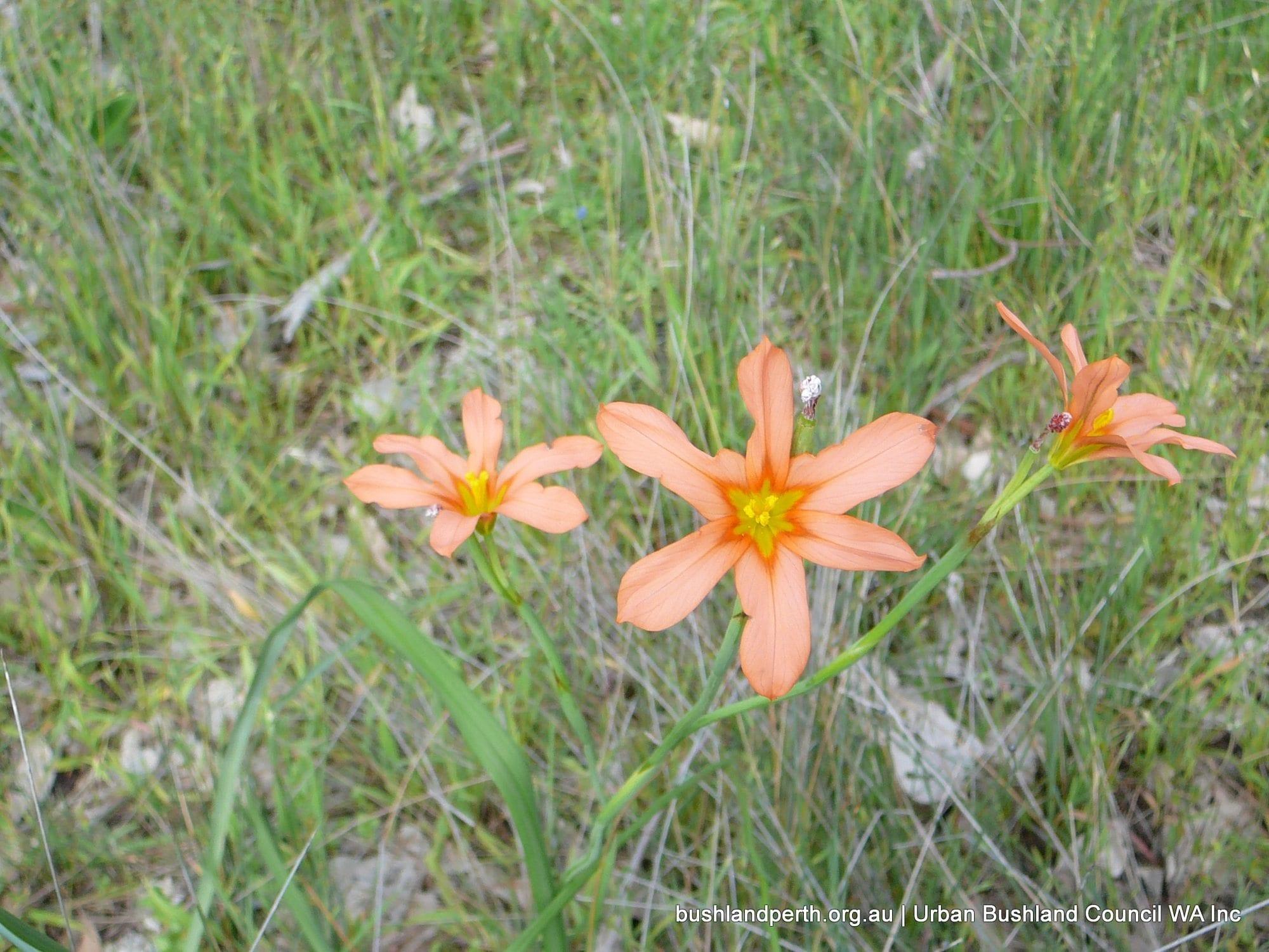 One Leaf Cape Tulip Urban Bushland Council Wa