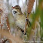 Australian Reed Warbler.