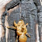 Cicada - shed skin.