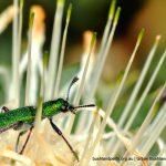 Clerid Beetle. Star Swamp.