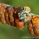 Unidentified native bee. Star Swamp.