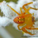 Shield Spider.