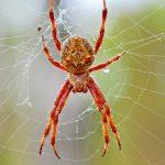 Garden Orb-weaving Spider after rain.