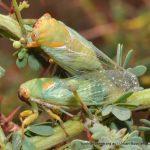 Cicadas. Star Swamp.