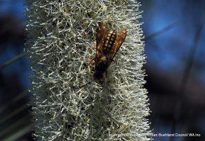 Wasp on Balga.