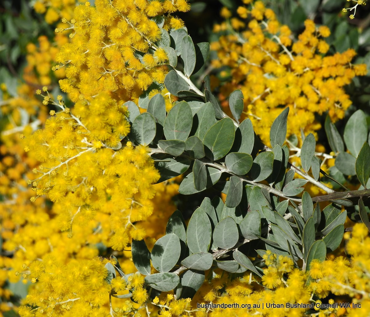 Queensland Silver Wattle Urban Bushland Council Wa