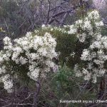 Honey Bush - Hakea lissocarpha.