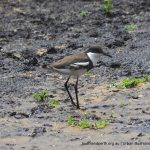Red-kneed Dotterel.